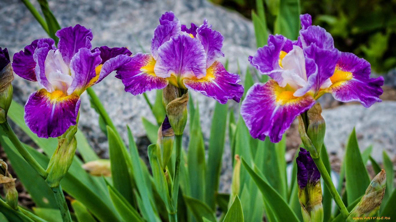 Цветок ирис домашний